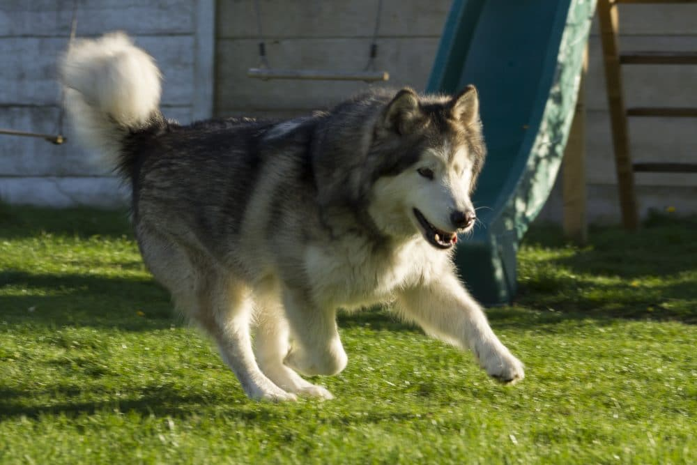 An Alaskan Malamute at home