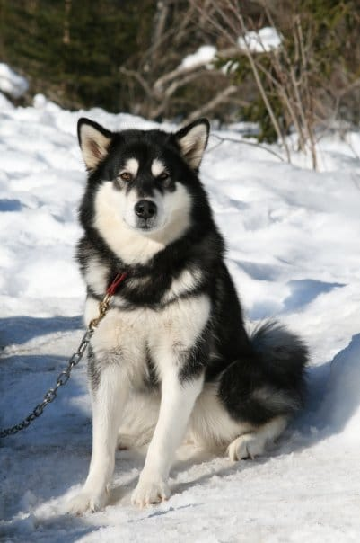 Clicquot Of keema's wolf pak